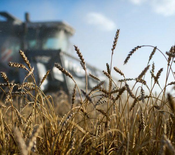 Russian wheat
